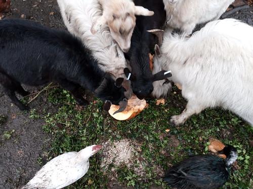 goats eating pumpkin Nov 19