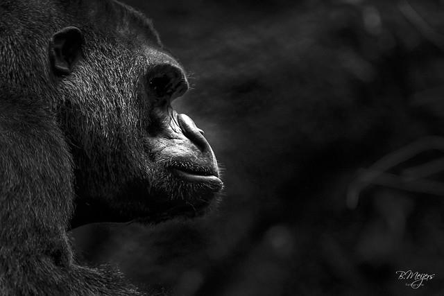 Gorilla / Paira Daiza