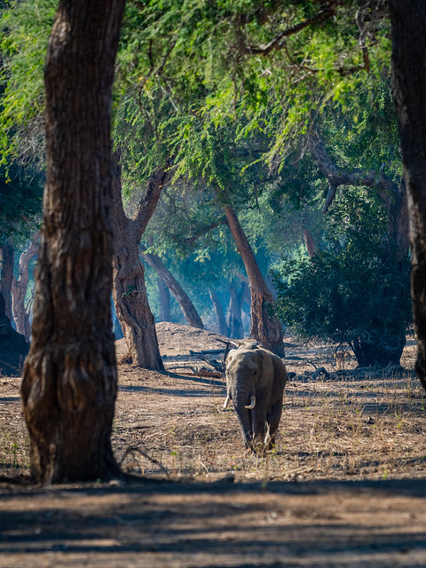 lonely elephant, a male?