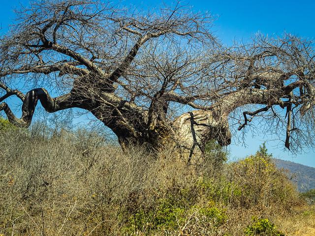 Huge beautiful old baobabs