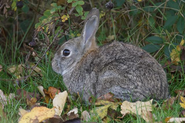 European Rabbit (Oryctolagus cuniculus) Vildkanin