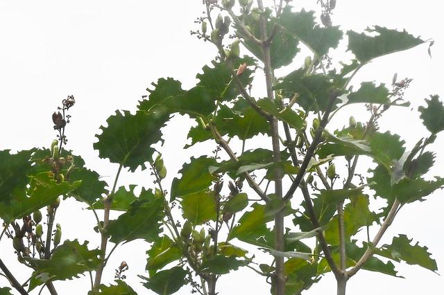 Feuilles découpées par des mégachiles.  --  Leaves cut by megachiles.