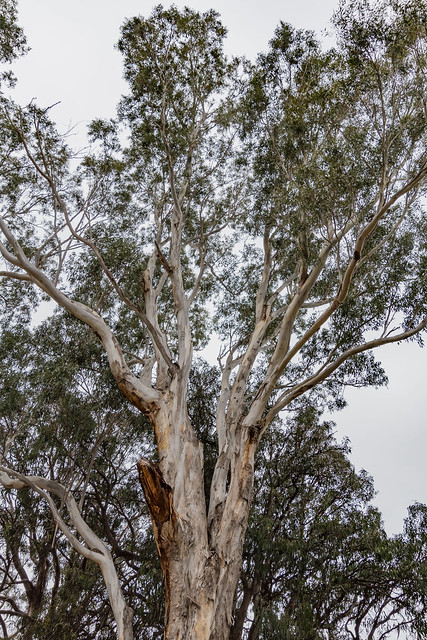Paperbark Gumtree