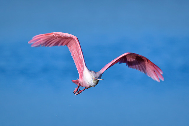 Roseate spoonbill in flight at J.N.