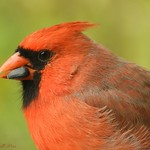 Portrait cardinal male