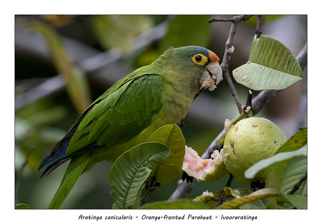 Orange-fronted Parakeet #4