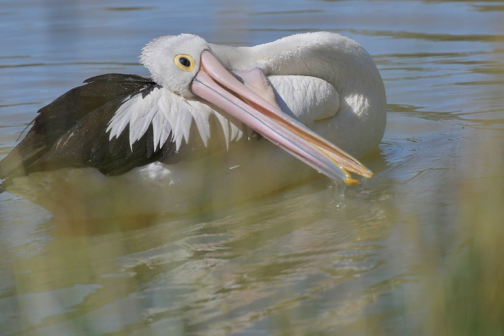 Australian Pelican ( time to rest )