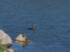 Two turtles and a great cormorant