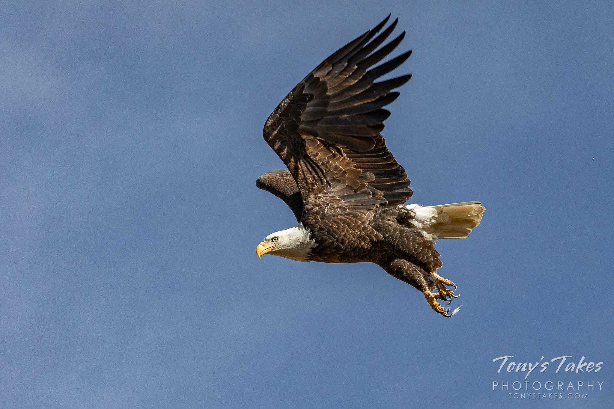 Bald eagle takes flight in honor of Veterans Day