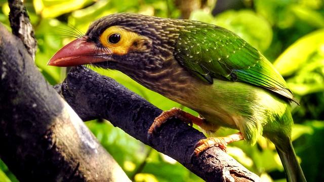 Mango Woodpecker