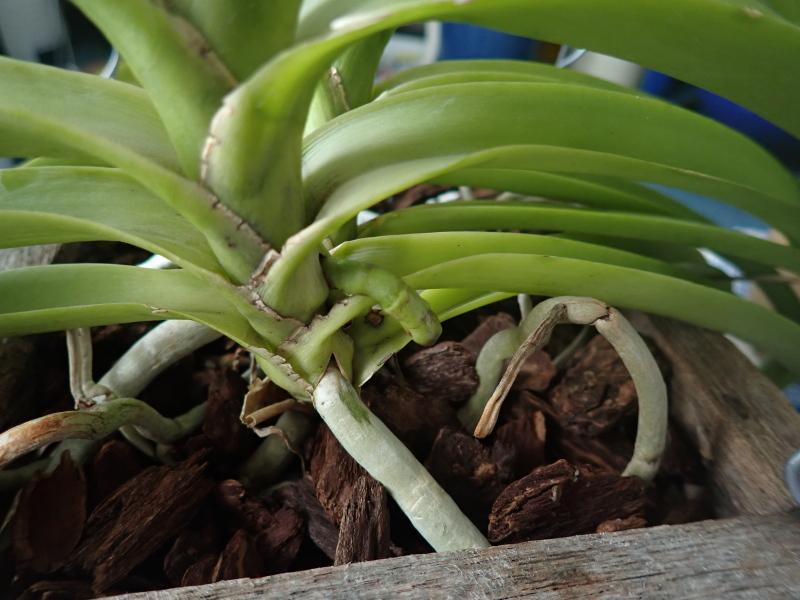 Les Orchidées chez Cloo en 2020 49054028603_4699313d50_o