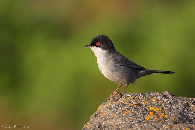 Sardinian warbler - occhiocotto
