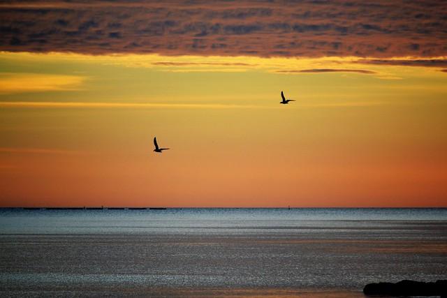 Seagulls in flight - Gaviotas en vuelo
