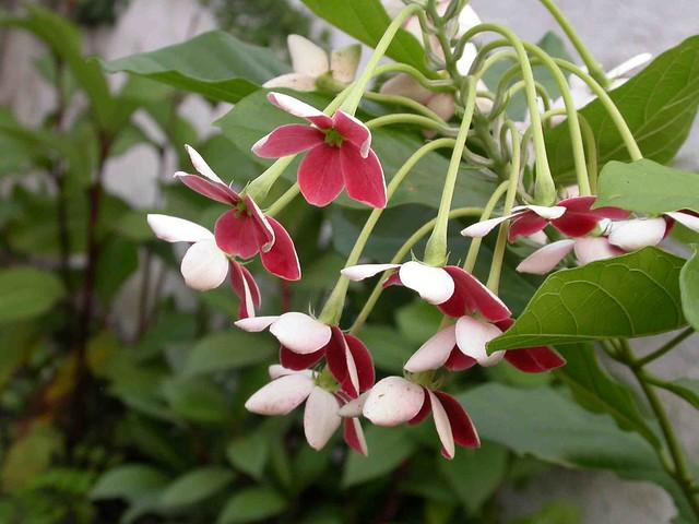 Combretum indicum - Combretaceae