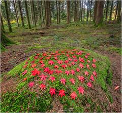 Rote Ahornblätter Kreis