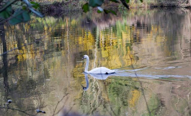 Swirls and Swan.