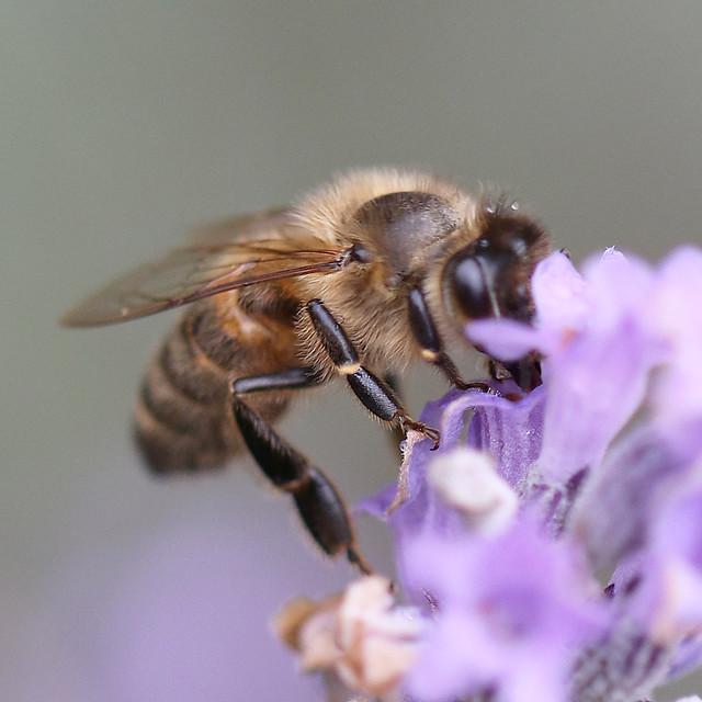 Re-edit Honey Bee 50