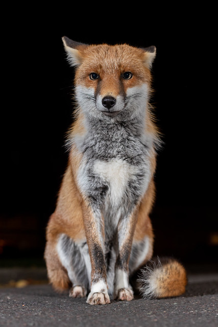 Street fox, Bristol city centre
