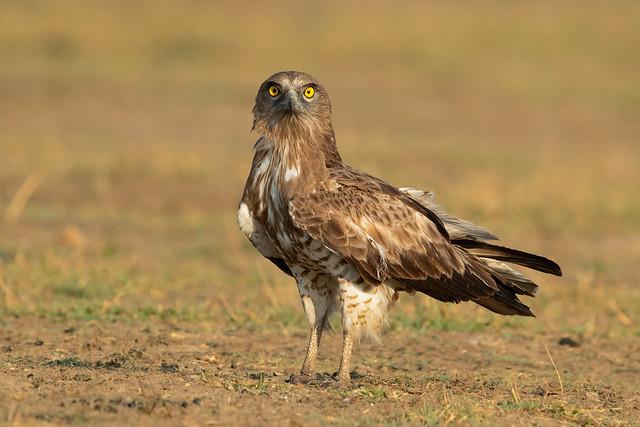 Short Toed Snake Eagle