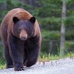 Cinnamon bear approaches