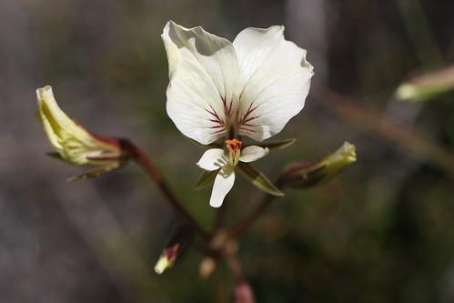 Pelargonium longicaule in habitat