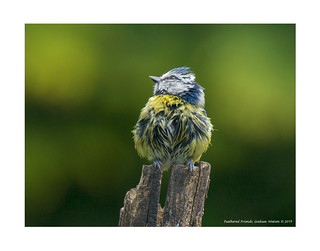 Blue tit ( just after bath time)
