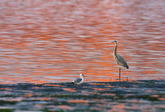 Heron-and-Gull-at-Sunset-cropped