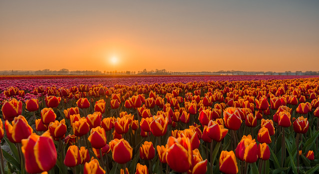 Tired tulips dozing off during sunset.
