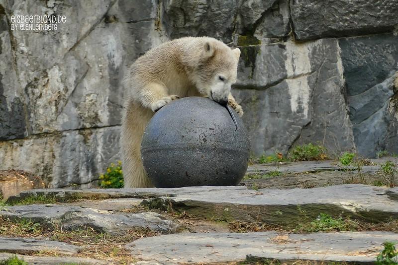 Eisbär Hertha - Tierpark Berlin - 07.10.2019