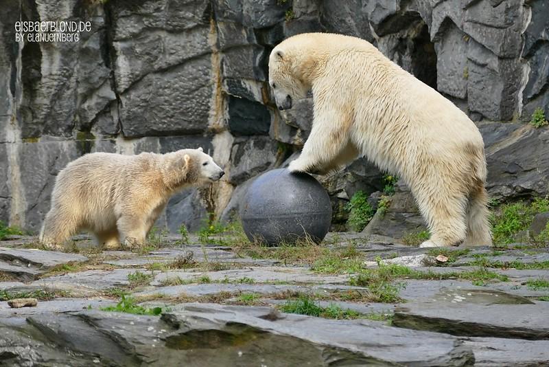 Eisbärenmami + Eisbärentöchterchen - Tierpark Berlin - 07.10.2019