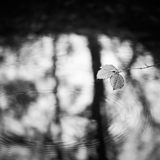 Leaf Above the Water