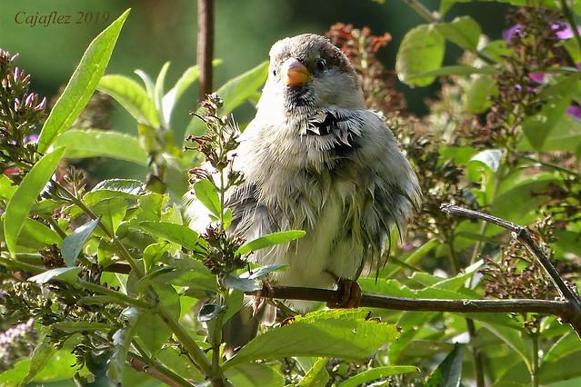 Sparrow In my garden, september 2019.(2).