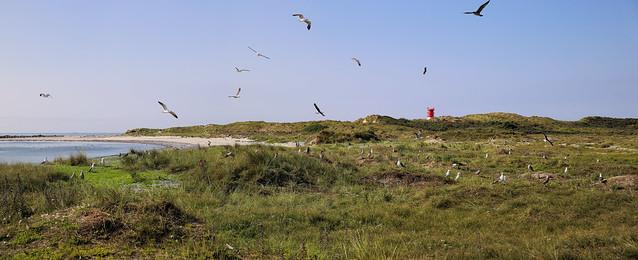 Seagulls breeding area on Düne island