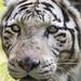 "<p><a href=""https://www.flickr.com/people/tambako/"">Tambako the Jaguar</a> posted a photo:</p>  <p><a href=""https://www.flickr.com/photos/tambako/49055632893/"" title=""White tigress looking a bit dumb""><img src=""https://live.staticflickr.com/65535/49055632893_4aaced1e08_m.jpg"" width=""160"" height=""240"" alt=""White tigress looking a bit dumb"" /></a></p>  <p>Close portrait of the white tigress of the Bratislava, looking a bit dumb!</p>"