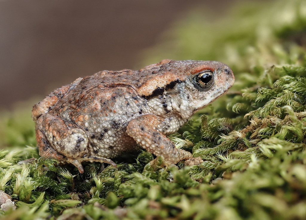 Sapo común / Common toad