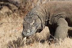 20190922_1794_Rinca_Dragon de Komodo