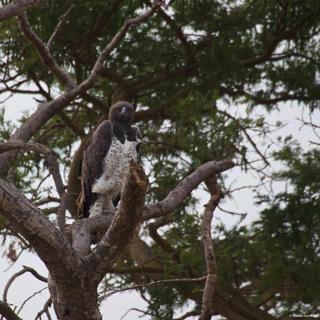 IMGP1050 Martial Eagle