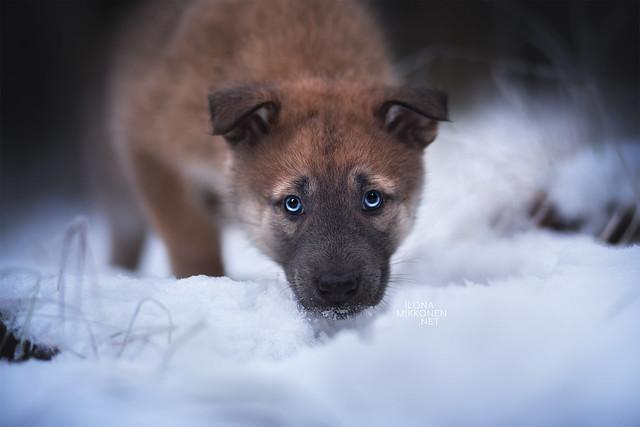 Nordic Wolfdogs Finneon