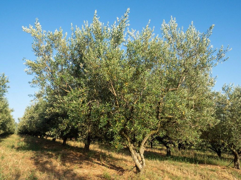 Gramona olive oil