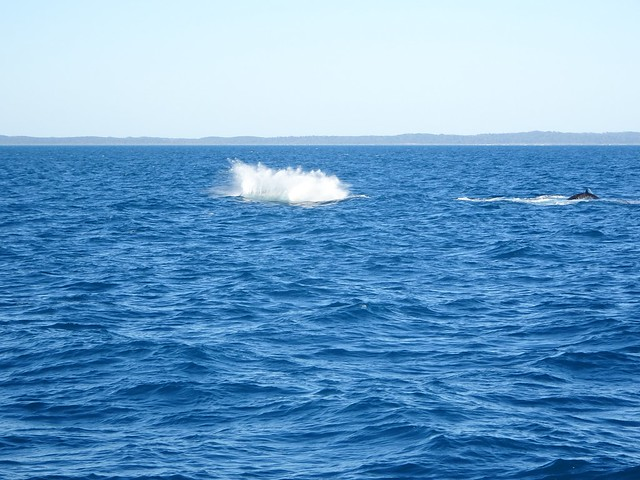 Hervey Bay with Fraser Island in the background. Two humpback whales playing in the bay.