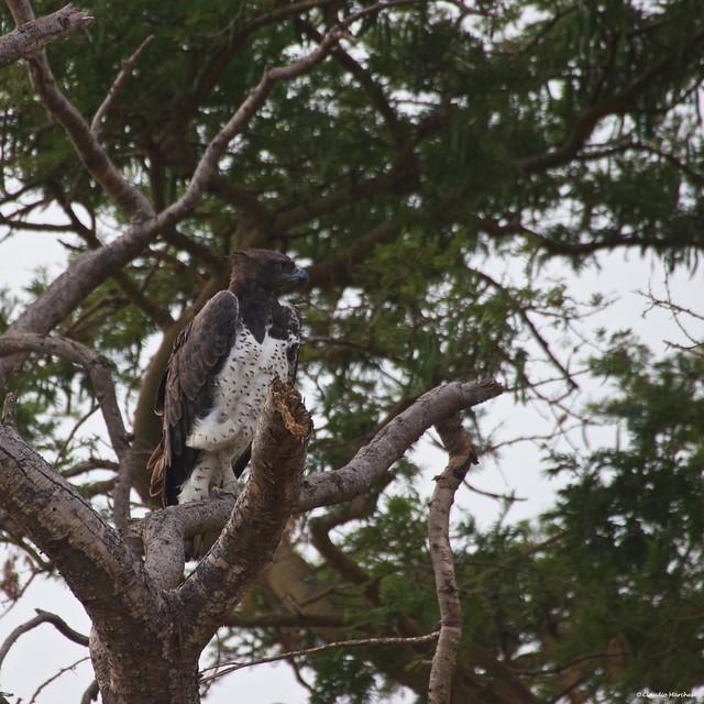 IMGP1049 Martial Eagle
