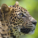 """<p><a href=""""https://www.flickr.com/people/tambako/"""">Tambako the Jaguar</a> posted a photo:</p>  <p><a href=""""https://www.flickr.com/photos/tambako/49056480021/"""" title=""""Profile of a pretty leopardess""""><img src=""""https://live.staticflickr.com/65535/49056480021_8f62aaa148_m.jpg"""" width=""""240"""" height=""""160"""" alt=""""Profile of a pretty leopardess"""" /></a></p>  <p>I like this portrait of one of the leopardesses of the Bratislava zoo!</p>"""