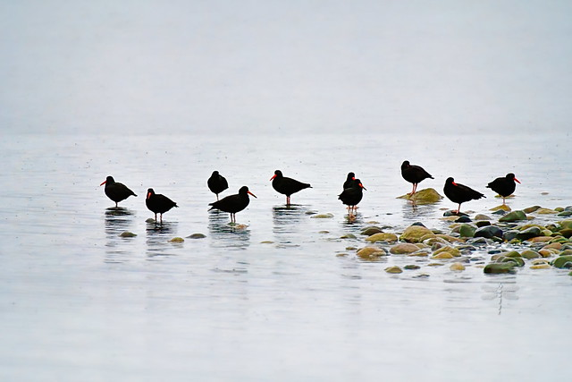oystercatchers in the mist . . .