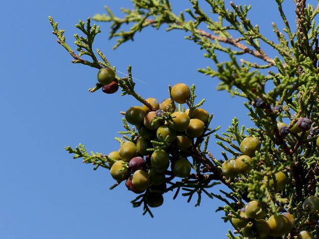Ginepro fenicio (Juniperus phoenicea). Sentiero dalla Plage di Cupabia alla Tour di Capanella. Corse 2019.