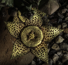 Star Shaped Succulent Flower In The Light