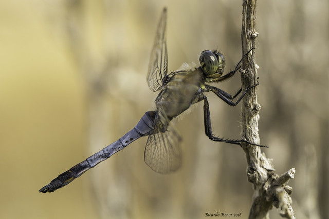 Orthetrum cancellatum. Adult male