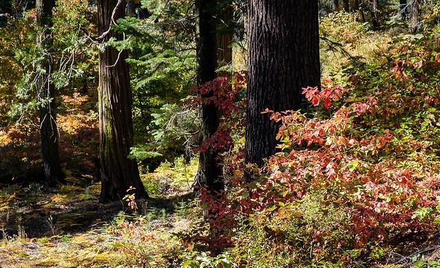 Dogwoods in Autumn Dress