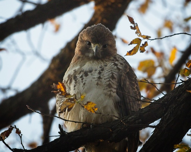 Christo the hawk waking up at dawn in Tompkins Square