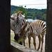 "<p><a href=""https://www.flickr.com/people/150454302@N04/"">diegocarreraperez</a> posted a photo:</p>  <p><a href=""https://www.flickr.com/photos/150454302@N04/49056767907/"" title=""Zebra de montaña - Equus zebra""><img src=""https://live.staticflickr.com/65535/49056767907_32bccdf75b_m.jpg"" width=""240"" height=""165"" alt=""Zebra de montaña - Equus zebra"" /></a></p>  <p>Madre y cría de zebra de montaña, esperando por su ración de alfalfa en el Parque de la Naturaleza de Cabárceno, Cantabria.</p>"