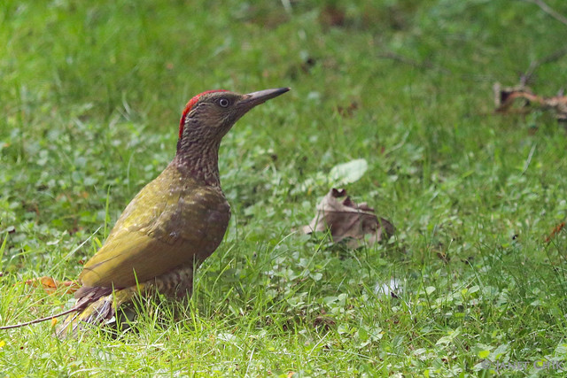 European green woodpecker 歐洲綠啄木鳥